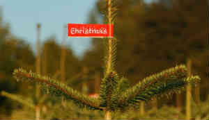 Bio-Weihnachtsbäume werden immer beliebter